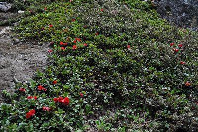 Rhododendron chamaethomsonii