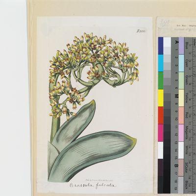 Crassula falcata published illustration from Curtis's Botanical Magazine