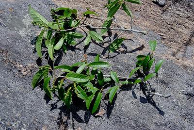 Coccoloba bullata R.A.Howard