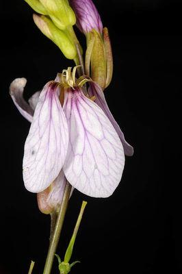 Schouwia purpurea