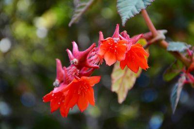 Begonia ferruginea