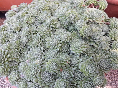 Sempervivum × alatum
