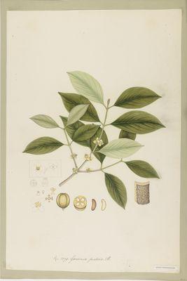 Garcinia pictoria R., watercolour on paper