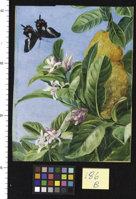 186. Foliage, Flowers and Fruit of the Citron, and Butterfly