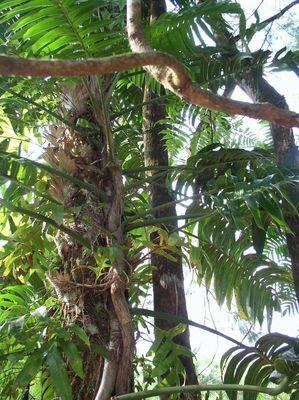 Epipremnum pinnatum 1