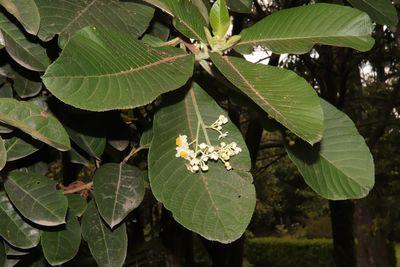 Saurauia scabra (Kunth) D.Dietr.