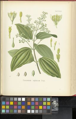 Cinnamomum zeylanicum, Köhler