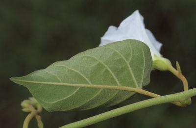 Bonamia semidigyna