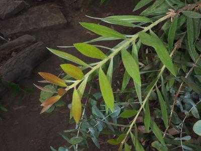 Melaleuca citrina