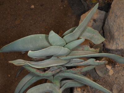 Crassula perfoliata var. coccinea