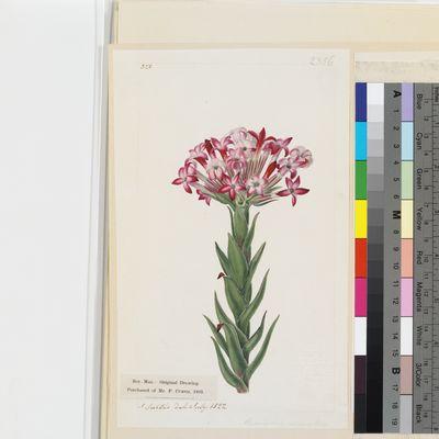 Crassula versicolor original illustration from Curtis's Botanical Magazine