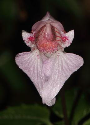 Impatiens appendiculata