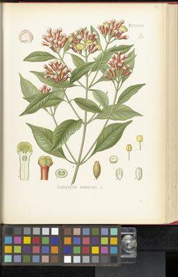 Caryophyllus aromaticus, Köhler