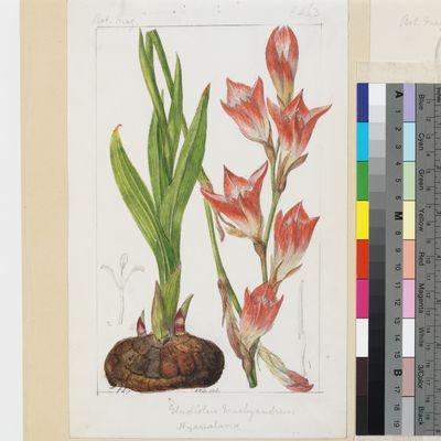 Gladiolus brachyandrus Baker original illustration from Curtis's Botanical Magazine
