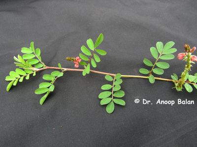 Indigofera hendecaphylla