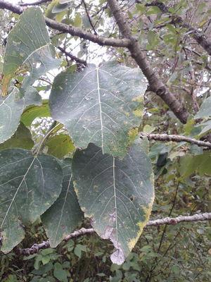 Populus glauca