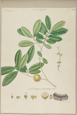 Diospyros melanoxylon Willd., watercolour on paper