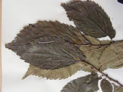 Ulmus × hollandica 'Wentworthii Pendula'