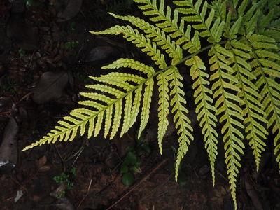 Dryopteris hondoensis f. rubisora