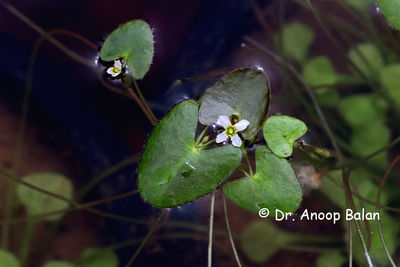 Nymphoides parvifolia
