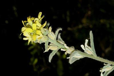 Fibigia eriocarpa