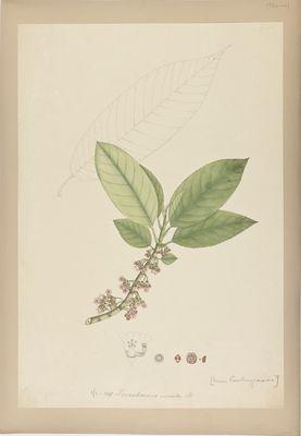 Ternstroemia serrata R., watercolour on paper