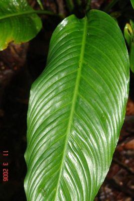 Spathiphyllum grandifolium