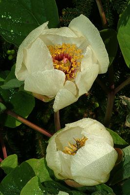 Paeonia daurica subsp. macrophylla