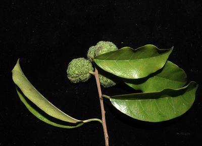 Maclura cochinchinensis