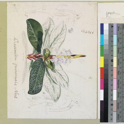 Crossandra guineensis Nees original illustration from Curtis's Botanical Magazine