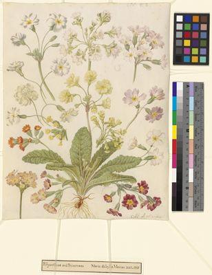 Polyanthus and primroses by Maria Sibylla Merian