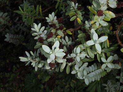 Veronica pinguifolia 'Pagei'