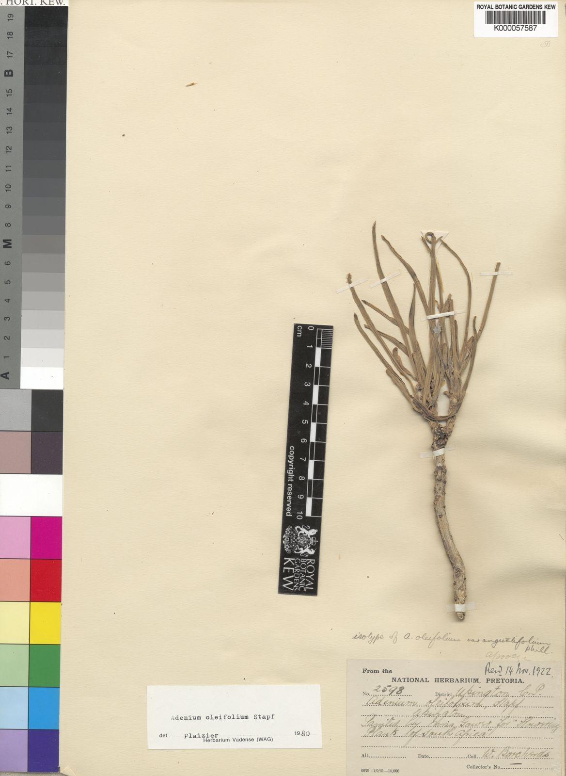 Adenium Oleifolium Stapf
