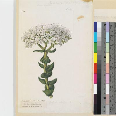 Crassula albiflora original illustration from Curtis's Botanical Magazine