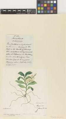 Sarcanthus sp.