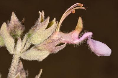 Teucrium chamaedrys subsp. tauricola