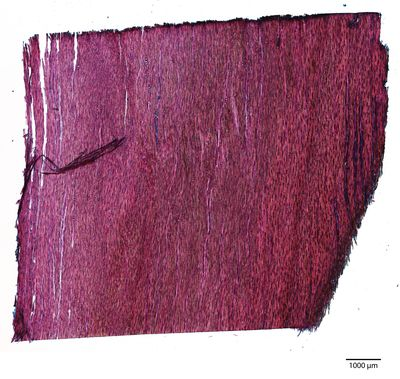 A specimen from Kew's microscope slide collection - tangential longitudinal section of wood. Image ref: KMIC000638_2016_10_04-S1