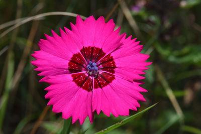 Dianthus caucaseus