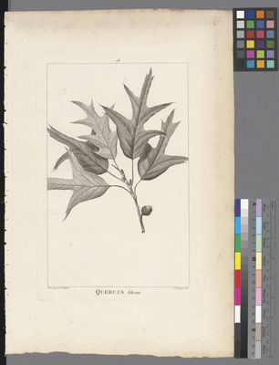 Quercus falcata, uncoloured engraving on paper