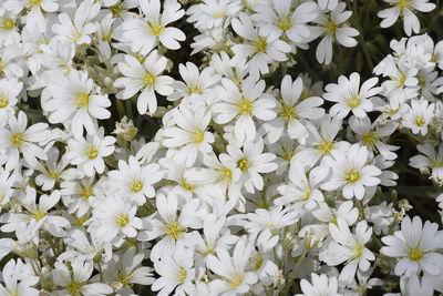 Cerastium boissierianum
