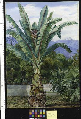 Abyssinian Ensete in a garden in Teneriffe