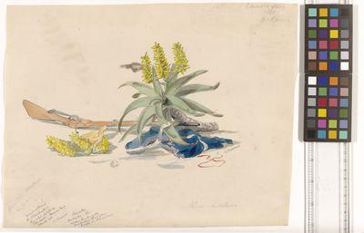Aloe dichotoma