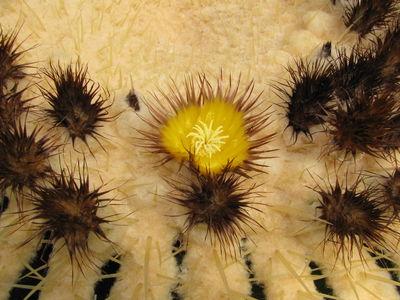 Kroenleinia grusonii