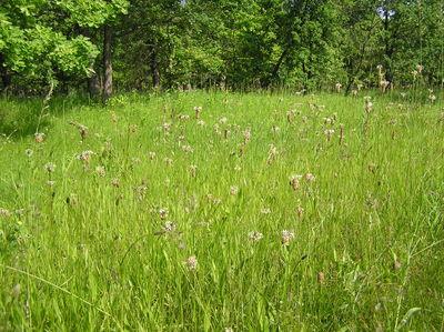 Plantago lanceolata
