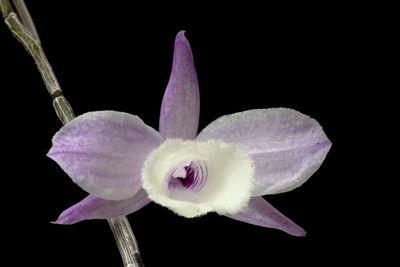 Dendrobium aphyllum (Roxb.) C.E.C.Fisch.