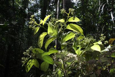 Cordia bicolor A.DC.