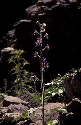 Delphinium staphisagria