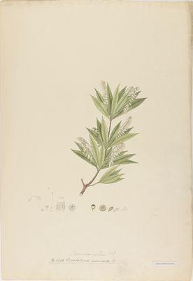 Ceratostema vaccinacea R., watercolour on paper