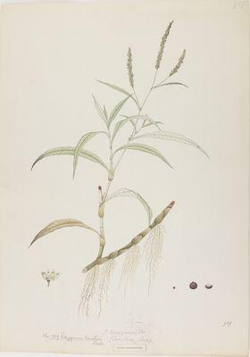 Polygonum lanatum R., watercolour on paper