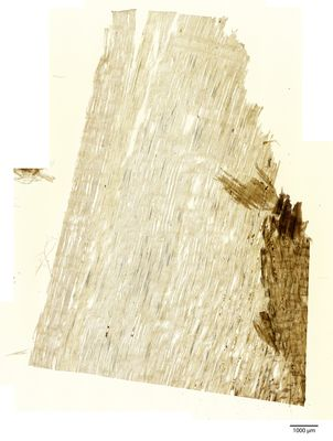 A specimen from Kew's microscope slide collection - radial longitudinal section of wood. Image ref: KMIC000640_2016.09.13-S3